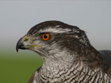 Falconry, a living human heritage